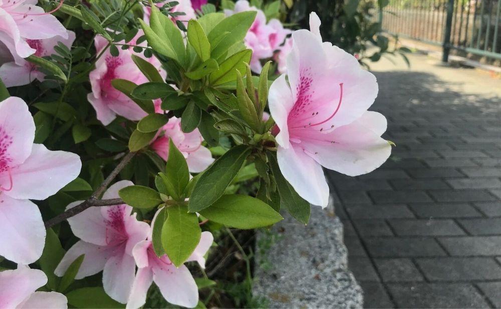 うすいピンク色のツツジの花